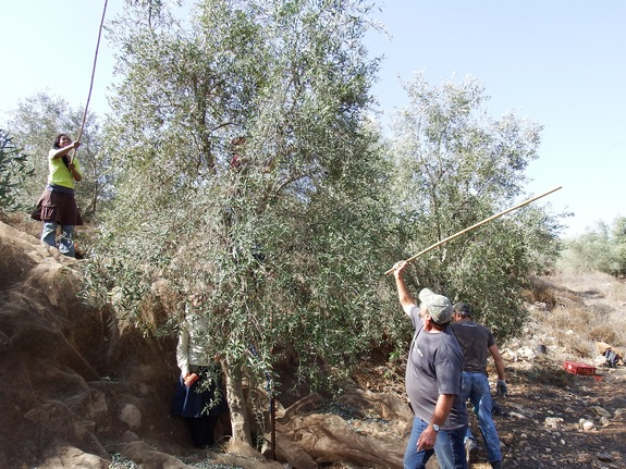 """Harvesting olives by """"beating"""" the trees in the hills of Samaria."""